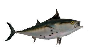 bonito-fish-1617338_640